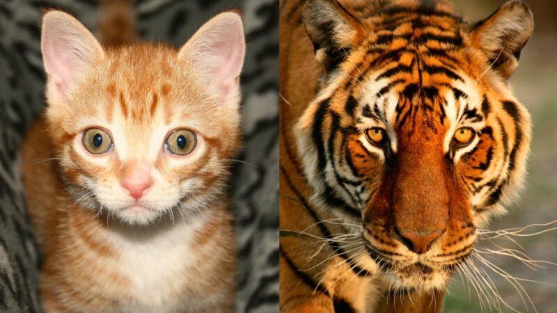 Ζευγάρι αγόρασε γατάκι από το ίντερνετ και τελικά ήταν τίγρης!